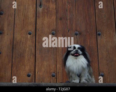 Pekinese dog in front of old wooden door - Stock Photo