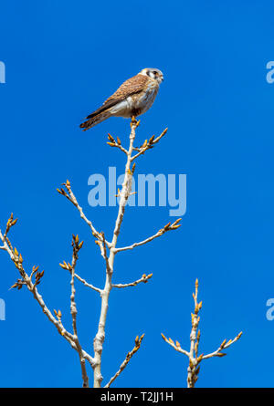 American Kestrel (Falco sparverius) looking for prey at the tip of Plains Cottonwood tree, Castle Rock Colorado US. Photo was taken in April. - Stock Photo