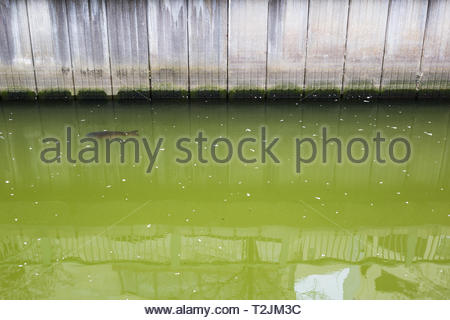 Chiba, Japan, 04/02/2019 , a carp swimming in the green water of Chiba canal with petals of cherry flowers floating. - Stock Photo