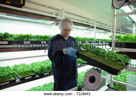 Grower inspecting and weighing cannabis seedlings in incubation - Stock Photo