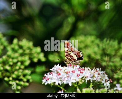 Map Araschnia levana butterfly on a flower, horizontal - Stock Photo