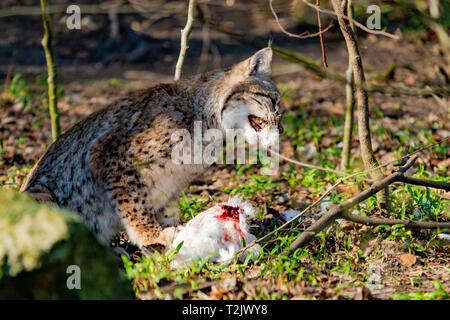 Lynx eating. Lynx lynx with prey in the mouth - Stock Photo