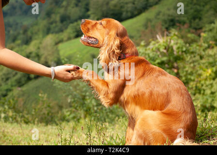 A dog/puppy sits on green grass shaking hand with owner while looking her emotionally - Stock Photo