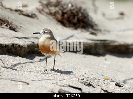 Dotterel Maori Plover New Zealand - Stock Photo