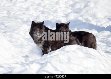 Two black canadian wolves are standing on the white snow. Canis lupus pambasileus. Animals in wildlife. - Stock Photo
