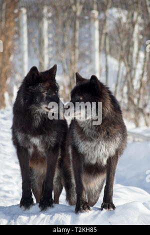Two black canadian wolves are standing on white snow in the winter park. Canis lupus pambasileus. Animals in wildlife. - Stock Photo
