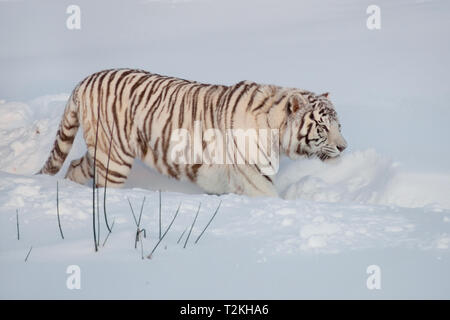 Wild white bengal tiger on a morning walk. Panthera tigris tigris. Animals in wildlife. - Stock Photo