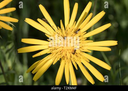 Wildbienen auf Bluete, Wild bees on flower - Stock Photo