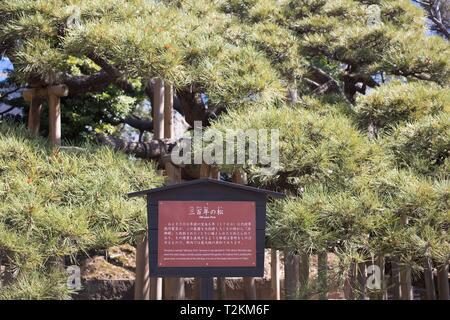 The 300 year pine at Hamarikyu Gardens, in Tokyo, Japan. - Stock Photo