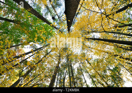 Low angle view of forest trees changing color in autumn - Stock Photo