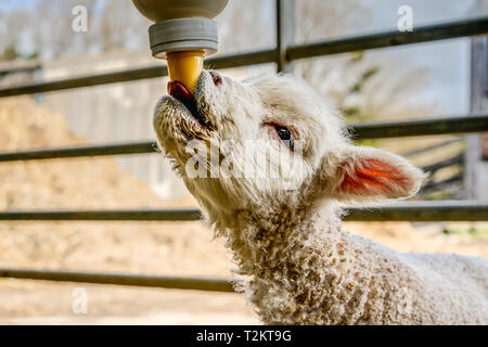 This is a portrait of an orphan lamb called Greg, to help him keep up with the others he is being bottle fed till a ewe adopts him, taken in a barn. - Stock Photo