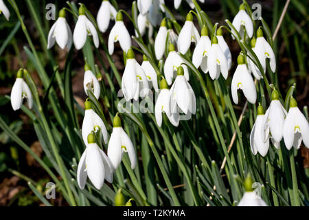 Close-up detail of a group of Snowdrops (Galanthus nivalis) growing in a woodland clearing in North Devon. Winter sunshine brightens them. - Stock Photo