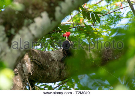 pale-billed Woodpecker (Campephilus guatemalensis) Costa Rica - Stock Photo