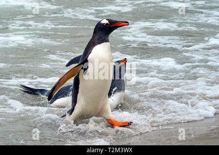 Gentoo penguin (Pygoscelis papua), at beach, Carcass Island, Falkland Islands, United Kingdom - Stock Photo