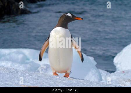 Gentoo penguin (Pygoscelis papua), on Laurie Island, Orkney Islands, Drake street, Antarctic - Stock Photo