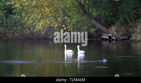 A pair of mute swans (Cygnus olor) swim past a pair of mallards (Anas platyrhynchos) on the River Severn in Shrewsbury, Shropshire, England. - Stock Photo