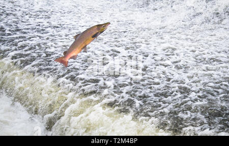An Atlantic salmon (Salmo salar) jumps out of the water at the Shrewsbury Weir on the River Severn in an attempt to move upstream to spawn. Shropshire - Stock Photo