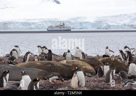 A Gentoo Penguin, Pygoscelis papua nesting colony with chicks, at Yankee Harbour, Antarctic Peninsular with an Antarctic cruise ship behind. - Stock Photo