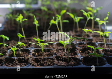 Tray with young tomato sprouts on the windowsill. Growing seedlings at home. Selective focus. - Stock Photo