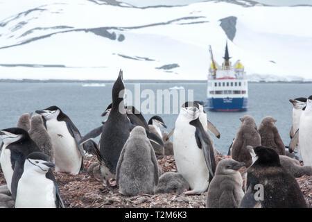 Chinstrap Penguin, Pygoscelis antarcticus nesting on Half Moon Island, Antarctic Peninsular with an Antarctic cruise ship behind. - Stock Photo