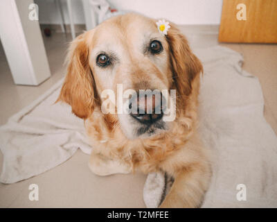 portrait of a golden retriever dog with a daisy in her ear on indoors - Stock Photo