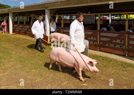 2 white pigs (sows) & farmer handlers using sticks & boards, walking past pig pens at showground - The Great Yorkshire Show, Harrogate, England, UK. - Stock Photo