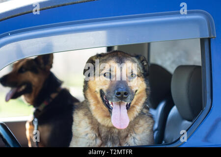 A German Shepherd mix and a Dutch Shepherd mix (Canis lupus familiaris) sit in the front seat waiting, ready for excitement - Stock Photo