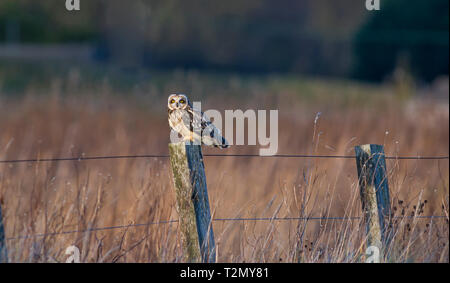 Short eared owl, Alios flammeus standing on fence post against defocussed background. - Stock Photo