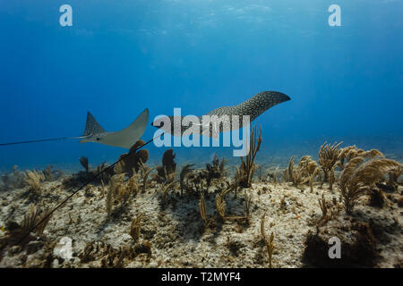 Pair of giant spotted eagle rays(Aetobatus narinari) swim away across coral reef showing their very long whip tails - Stock Photo