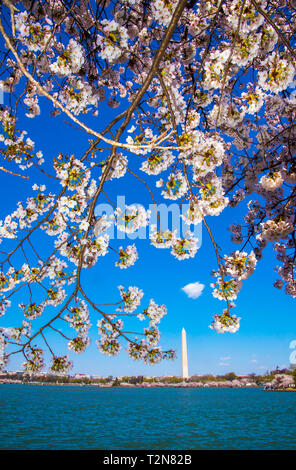 Washington, USA. 03rd Apr, 2019. Washington DC, April 3, 2019, USA: The Japanese Cherry Blossoms are in full bloom around the Tidal Basin to and are viewed and photographed in Washington DC. Credit: Patsy Lynch/Alamy Live News - Stock Photo