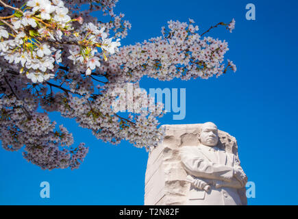 Washington, USA. 03rd Apr, 2019. Washington DC, April 3, 2019, USA: The Japanese Cherry Blossoms are in full bloom around the the Tidal Basin and the Martin Luther King Memorial in Washington DC. Credit: Patsy Lynch/Alamy Live News - Stock Photo
