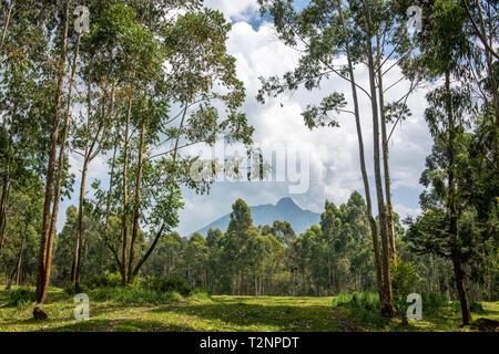Eucalyptus grove with Mount Sabyinyo volcano looming in the distance, Kinigi, Rwanda - Stock Photo