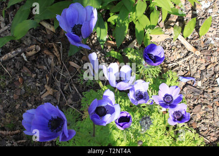 Anemone coronaria - first flowers of spring - Stock Photo