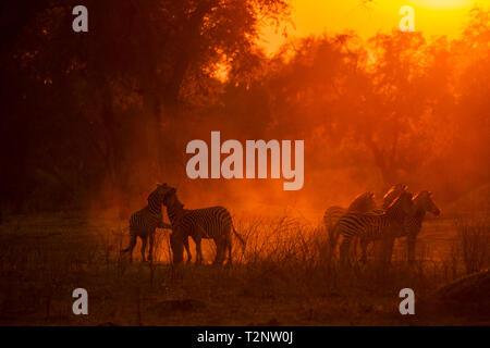 Burchell's Zebras (Equus burchelli) in dusty Mana Pools National Park, Zimbabwe - Stock Photo