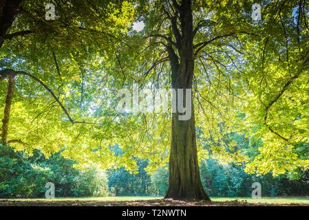 big tree in sunlight - Stock Photo