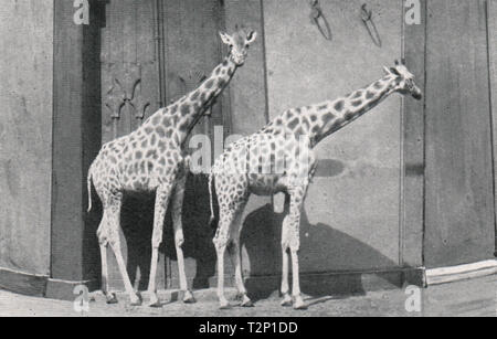 Giraffes at the Zoo, Regent's Park - Stock Photo