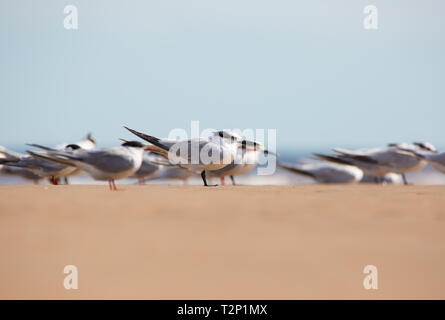 Detailed, low-angle close up of a flock of UK sandwich terns (Sterna sandvicensis) standing together on beach sand, all facing same direction. - Stock Photo