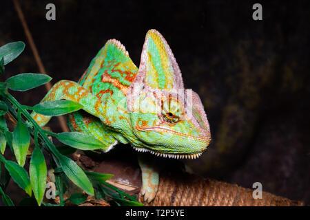 Chameleon (Chamaeleo calyptratus) on a black background. - Stock Photo