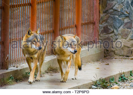 Pair of big wolves looking in the same direction. Captive animals in a zoo cage with metal bars. Wolf pack behavior. - Stock Photo