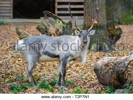 Big male reindeer looking at the camera in a zoo. Captive animal. Gray and white fur. Huge antlers. - Stock Photo
