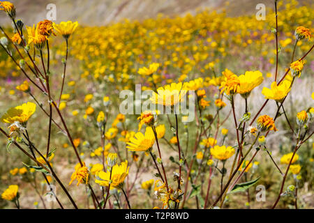 Desert sunflowers (Geraea canescens) blooming in Anza Borrego Desert State Park during a superbloom, south California - Stock Photo