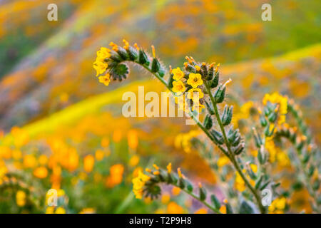 Close up of Fiddleneck (Amsinckia tesselata) wildflowers blooming on the hills of Walker Canyon, Lake Elsinore, California - Stock Photo