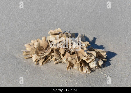 Flustra foliacea / Eschara foliacea, species of bryozoans, colonial animal found in the northern Atlantic Ocean washed ashore on tidal mudflat - Stock Photo