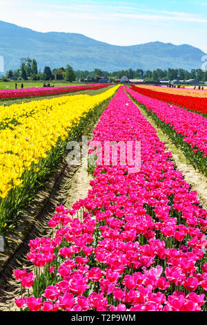 Rows of Tulips on a Tulips Farm Festival. Colorful tulips in bloom. Field of yellow, pink, red and orange tulips. Beautiful outdoor scenery in Canada. - Stock Photo