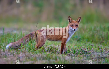 Red fox posing at green summer field - Stock Photo