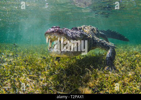 American Saltwater Crocodile on the atoll of Chinchorro Banks, low angle view, Xcalak, Quintana Roo, Mexico - Stock Photo
