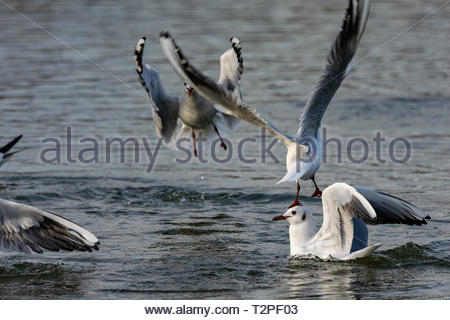 Black headed gulls (Chroicocephalus ridibundus) diving into water - Stock Photo