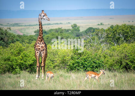 Masai giraffe (Giraffa camelopardalis tippelskirchii) in the grass in Maasai Mara National Reserve, Kenya - Stock Photo