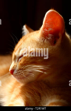 Sleepy ginger tabby kitten isolated on a black background - Stock Photo