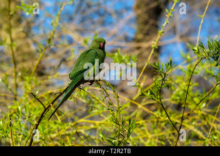 Ring-necked Parakeet Psittacula krameri perched in a willow tree at Bushy Park Hampton London England - Stock Photo